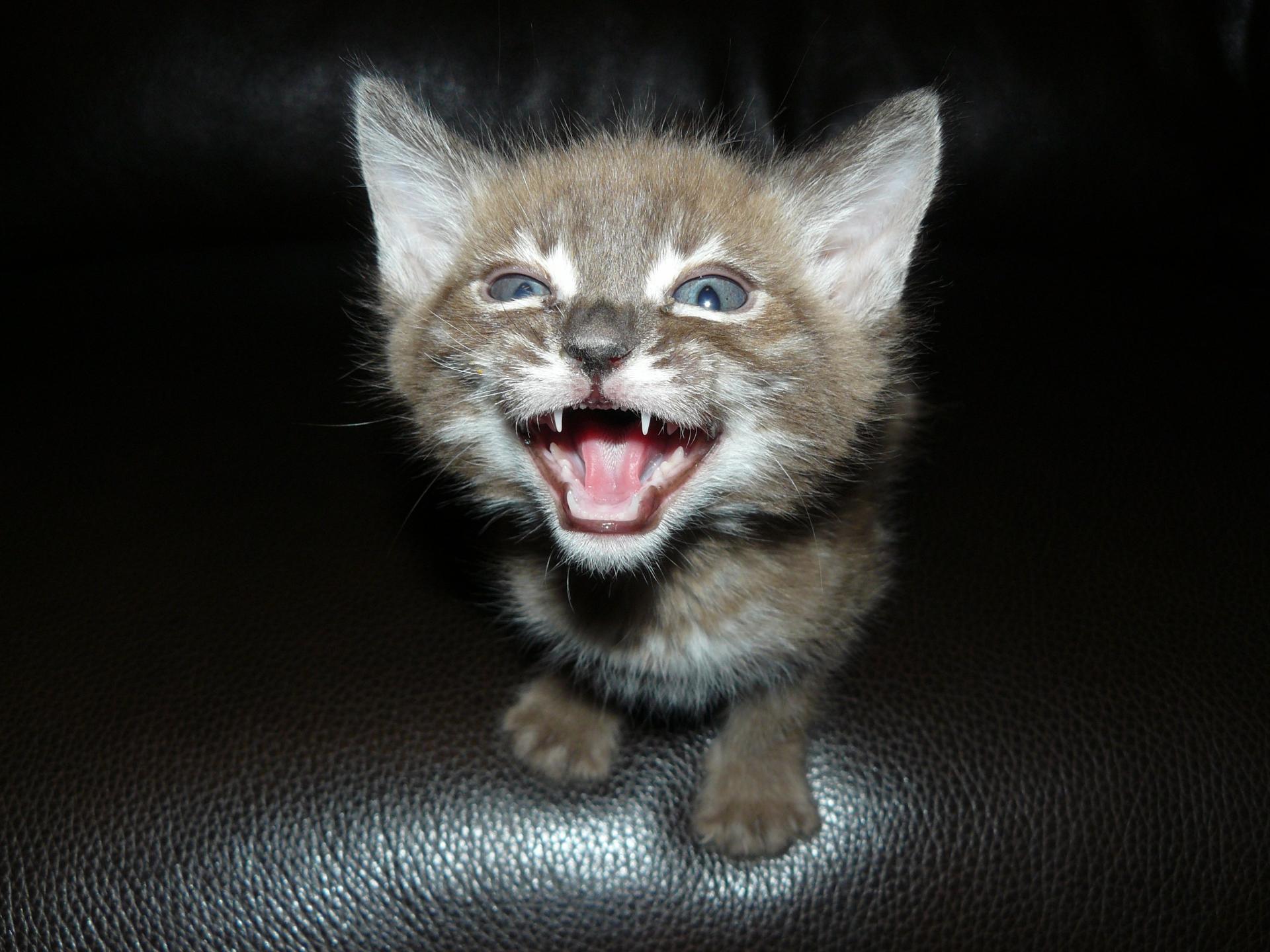 Bengal Cat For Sale Sc Baby Bengal Kitten